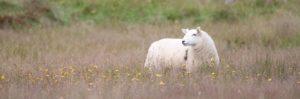 lamb6